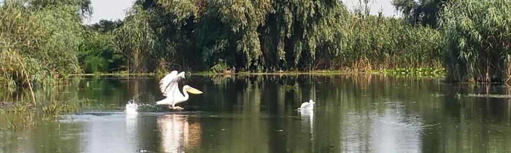 pelicanii